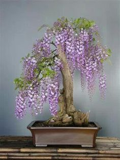 Wisteria Bonsai 盆栽