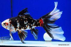 Goldfish - Beautiful Chinese Shubunkin from Dandy Orandas