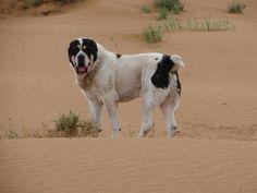 Central Asian Ovcharka - 115 kg bulldozer - Molosser Dogs Gallery