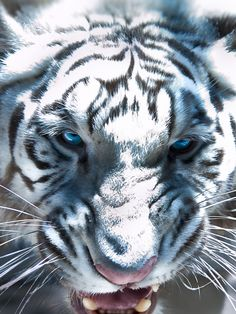 White Tiger Medicine: * Uniqueness * Divining Personal Truth * Strength Through Conviction * Individuality * Power * Generosity * Light & Darkness * Illumination Curiosity * Valor