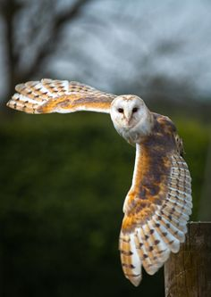 Barn Owl populations have severely dropped as housing developments and shopping centers have replaced open agricultural fields. This decrease in open space is detrimental to Barn Owls, whose nests req Beautiful Owl, Animals Beautiful, Cute Animals, Owl Photos, Owl Pictures, Bird Barn, Barn Owls, Owl Wings, Owl Art