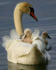 Mama swan and her babies catching a ride