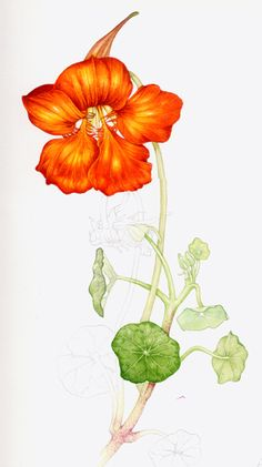 I love nasturtium plants, so illustrating this one was a lot of fun.  Slightly stressful, this was the only plant still flowering that I could find, so I had to get it painted before it withered.  Serious pressure.