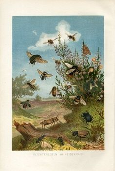 """1882 Brehms BEE WASP BUMBLEBEE BUGS GRASSHOPPER Antique Chromolithograph Print.  Original old German chromolithograph print.  It is very decorative.  It looks great when framed. This is an authentic antique (not a modern reproduction) beautiful print comes from a German book """"Tierleben"""" by A.Brehm,1882.  Alfred Edmund Brehm (February 2, 1829 - November 11, 1884) was a famous German zoologist. The overall size of this print approx 10"""" x 7"""" inches.  Sold $28.55 4-15-13"""
