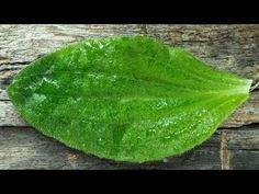 Plant Leaves, Plants, Youtube, Healing Herbs, Medicinal Plants, Varicose Veins, Herbal Medicine, Home Remedies, Nature