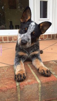 Australian Cattle Dog Dog Breed Information, Popular Pictures - Dogs - Chien Perro Blue Heeler, Blue Heelers, Cute Dogs And Puppies, I Love Dogs, Doggies, Dalmatian Puppies, Aussie Cattle Dog, Cattle Dogs, Cute Baby Animals