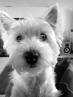Brodie, Westie, West Highland Terrier