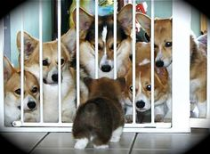 'Who is this Corgi baby?' says the pack