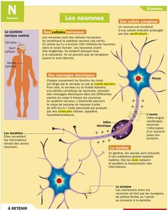 Science infographic and charts Les neurones Infographic Description Les neurones: - Infographic Source - Science Education, Physical Education, Science And Technology, Health Education, Human Body Unit, French Education, Brain Gym, Anatomy And Physiology, Human Body