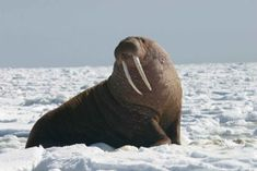 Stop Covering-Up Environmental Impacts From Arctic Oil Drilling - ForceChange