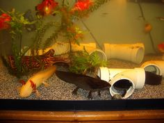 Live foods like blackworms bloodworms daphnia brine for Do betta fish sleep on the bottom of the tank