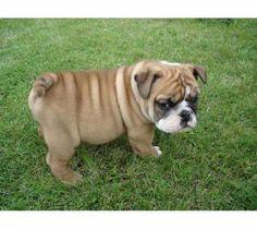 mini english bulldog- so cute