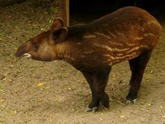 Tapirus pinchaque - Bergtapir - Mountain tapir | Flickr - Photo Sharing!