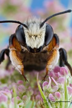 Leafcutter Bee by Colin Hutton Photography --- simply amazing! Nature is never boring. I can sit in a patch of grass for ages studying and enjoying. Photo Animaliere, Bee Photo, Buzzy Bee, I Love Bees, Cool Bugs, Bees And Wasps, Fotografia Macro, Beautiful Bugs, Amazing Nature