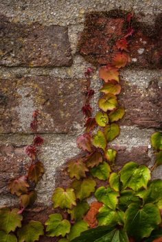Can Cargol: Boston ivy, Parthenocissus tricuspidata Veitchii