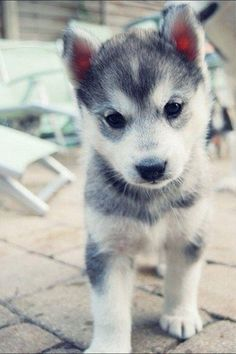 This is so cute! Gray Pomski! Somebody get me one please!