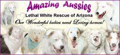 Lethal White   Rescue of Arizona  Aussie's