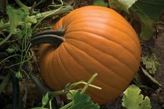 This blocky round pumpkin is ideal for the Jack O'Lantern market. Diablo produces fruit with very uniform size and shape. This pumpkin has a beautiful dark orange color with a strong, dark green embedded handle. Pumpkin Seed Recipes, Home Grown Vegetables, F1, Orange Color, Lantern, Seeds, Fruit, Green, Plants