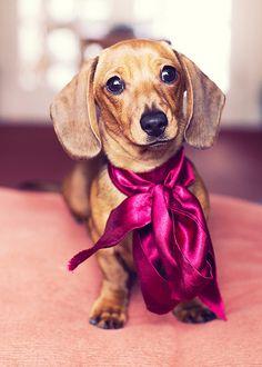 cutest little miniature dachshund by chris bailey