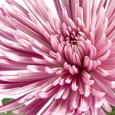 Save money on your wedding by buying wholesale Spider Mums. Our flowers arrive from the flower farm to your door so they are fresh & you save money Affordable Wedding Flowers, Spider Mums, Flower Farm, Here Comes The Bride, Fresh Flowers, Event Decor, Special Day, Flower Arrangements, Wedding Planner