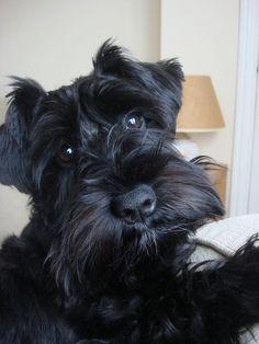 Such an adorable little face on this darling mini schnauzer puppy #miniatureschnauzerblack #miniatureschnauzerpuppies