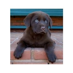 Chocolate block head lab, so cute!