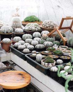 Wonderful Cactuses And Desert Plants Photography By Wachirapol Deeprom Growing Succulents, Cacti And Succulents, Cactus Plants, Cactus Art, Cactus Flower, Borneo Rainforest, Purple Plants, Black Garden, Local Photographers