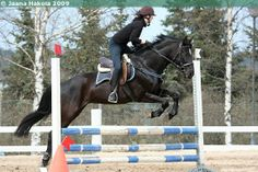 American Curly Horse x Standardbred mare Pallas Tequila