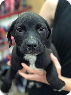Fresno, CA - Border Collie/Labrador Retriever Mix. Meet Pepper, a puppy for adoption. http://www.adoptapet.com/pet/18406017-fresno-california-border-collie-mix