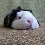 "279 Me gusta, 3 comentarios - Феня , Буся и Тоша (@guinea_pigs_fenya_busya_tosha) en Instagram: ""#guineapig #pet #cute # ##буся #пушистик #cavy #guineapiglove"""
