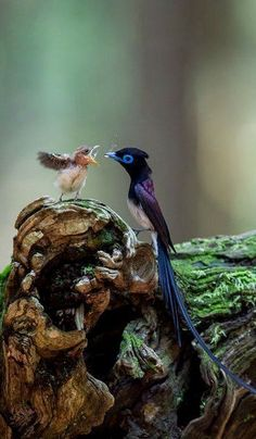 A bird of paradise feeding its chick