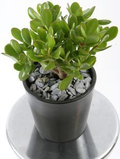 These 19 Easiest Houseplants are perfect for lazy, busy and newbies, who want to plant easy indoor plants that grow with minimal care. Small Indoor Plants, Small Shrubs, Inside Plants, Cool Plants, Succulents Garden, Planting Flowers, Plantas Indoor, Crassula Ovata, Chlorophytum