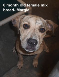 ***SUPER URGENT!!!*** - PLEASE SAVE MARGIE!! - EU DATE: 8/27/2014 -- Margie Breed:Terrier (mix breed) Age: Under 6 months Gender: Female Size: Medium -  Call Silvia and Debbie now,,,,,Silvia is 910-876-0539 and Debbie is 339-832-0806. If Silvia's mailbox is full you can Text her. Transportation is generally available up and down the East Coast from NC, VA, MD, NJ, PA, NY and the North East.