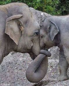 They're So Sweet! This Adorable Baby Elephant Loves His Mama As They Adorably Hold Trunks