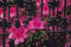 Brilliant Pink Azaleas Against a Black Iron Fence