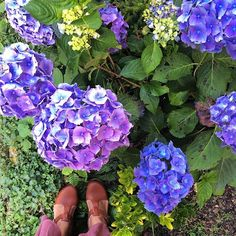 Hortensias and new clogs !