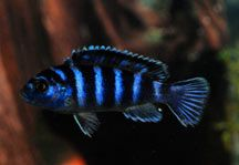 A difficult fish to breed is the mouth-brooding African Cichlid. The challenge here is to keep the males from killing the female