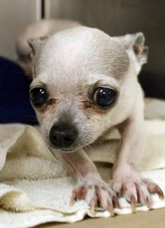 JoJo: 12-year-old Chi, rescue only, is out of time at high-kill upstate shelter