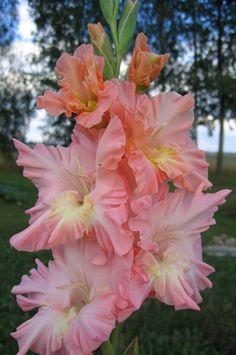 Gladiolus - Ritvars S - Picasa Web Albums
