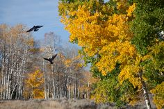 Aspens and Ravens