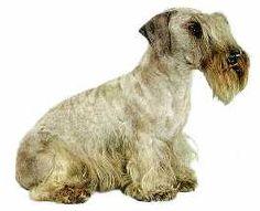Czech Terrier ...