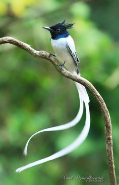 Asian Paradise Flycatcher by Noah Dyvadheenam on 500px