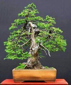 Jezo Spruce Picea Jezoensis Tree Seeds Bonsai Fast Evergreen   eBay