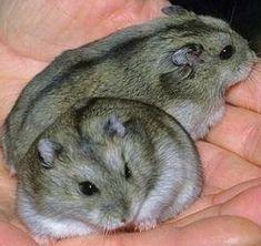 Siberian Dwarf Hamsters