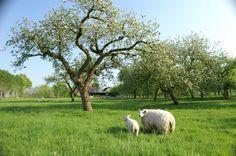 schapen in de boomgaard
