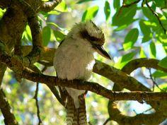 Kookaburra Australia, Birds, Country, Animals, Beautiful, Animales, Rural Area, Animaux, Bird