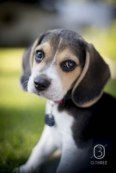 Can't wait to get my own house so can get a beagle!!