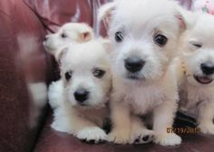 Westies, White terrier and Highlands on Pinterest