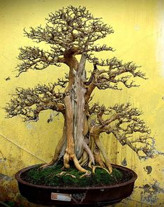Bonsai Pruning, Bonsai Garden, Bougainvillea Bonsai, Lovers Of Themselves, Dwarf Trees, Bonsai Styles, Miniature Trees, Ikebana, Tree Art