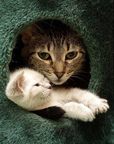 cute white kitten snuggling with tabby cat